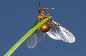 Flying Ant Day 2018: When Is It? What Is It? How To Get Rid Of Them In The UK?