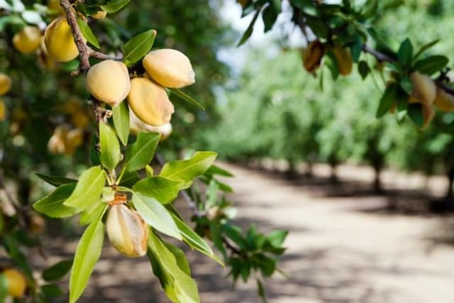 Almonds are a member of the peach family
