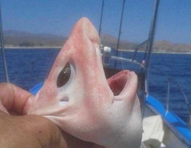 albino shark