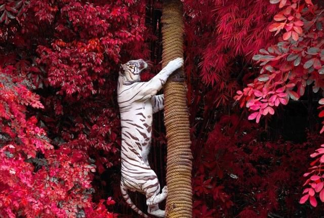 The Tiger With the Tree