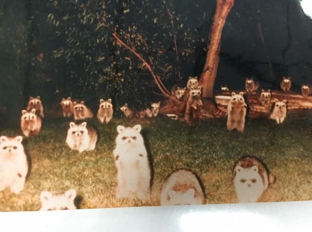 The Raccoons at the Campsite
