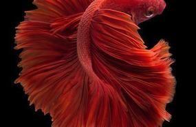 7 Busted Betta Fish Myths