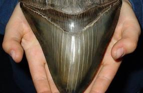 What Is A Megalodon?