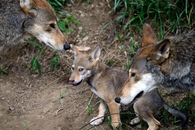 Texas Wild Canines Found To Have Link To Endangered Red Wolf