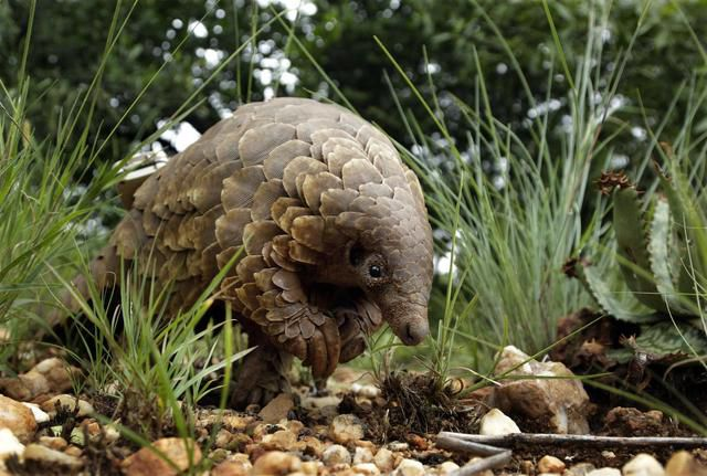 South African Activists Try To Protect Endangered Pangolins