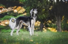 Most Expensive Breeds Of Dogs In The World