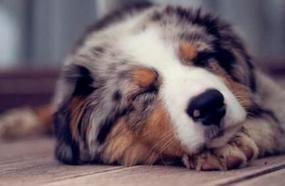 Quietest Dog Breeds That Rarely Bark