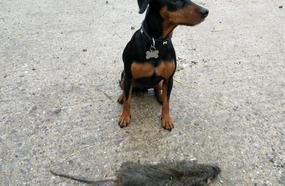 'Biggest Ever Rat Caught In UK' Found By Pest Controller Measuring 21 Inches