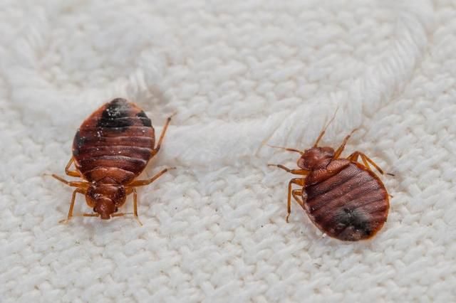 Six Signs You Have Got A Bedbug Infestation - Including How Your Bedroom Smells