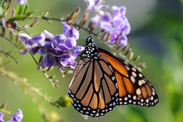 How Can We Save The Monarch Butterfly?