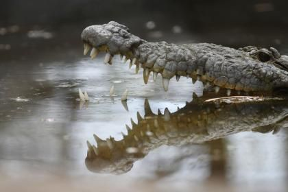 Man Bites Crocodile To Free 12-Year-Old Son From Reptile's Jaws