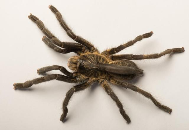Scientists Discover Tarantula With Bizarre Horn On Its Back