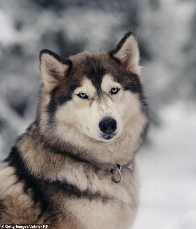 Husky Dog Bit Off Four-Year-Old Boy's Hand When He Stuck It Through His Neighbor's Fence To Play
