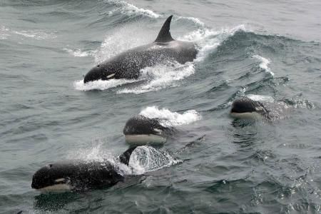Mysterious 'Type D' Species Of Killer Whale With Round Head And White Eye Patches Discovered