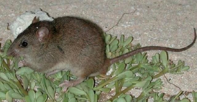 Bramble Cay Melomys Become First Mammal Wiped Out By Human-Caused Climate Change