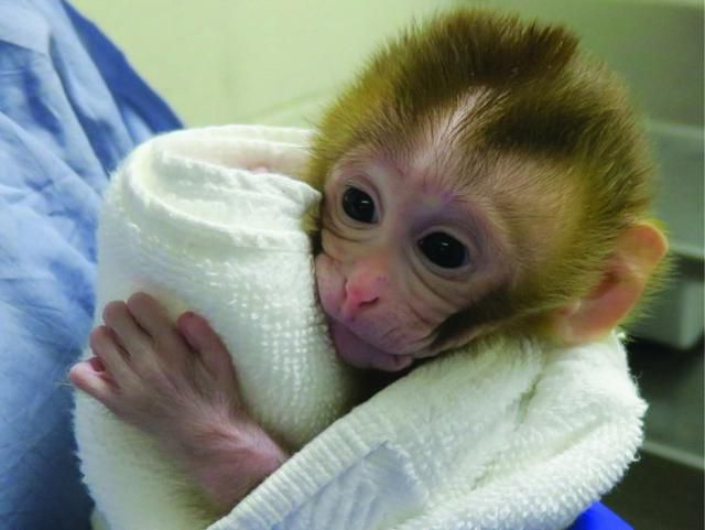 Monkey Birth Heralds Possible Solution To Fertility Problems Of Childhood Cancer Survivors