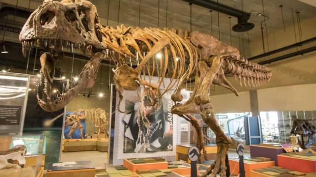 World's Biggest T. Rex Skeleton Uncovered In Canada