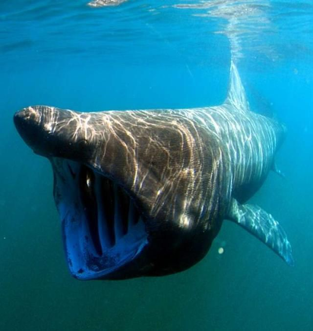 Sharks as big as small yachts spotted off California coast after 30-year absence