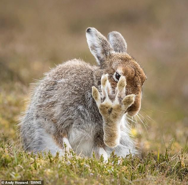 Say it to the paw, 'cos the hare ain't listening! Mammal appears to be demanding right to privacy in hilarious wildlife snap