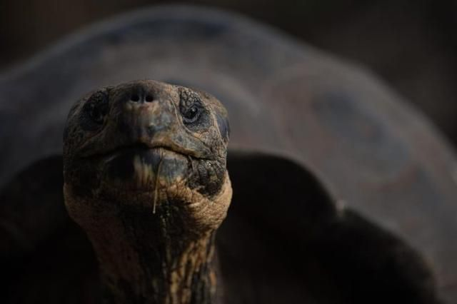 Galapagos Giant Tortoises Born for First Time in 100 Years After Their Extinction in 1800s