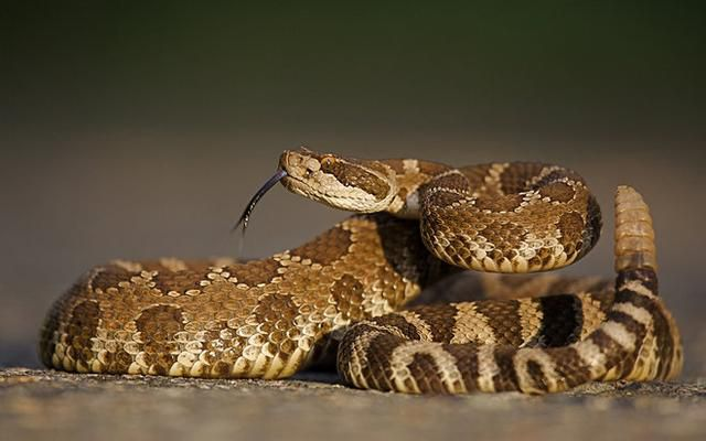 What Should You Do If You're Bitten by a Venomous Snake?