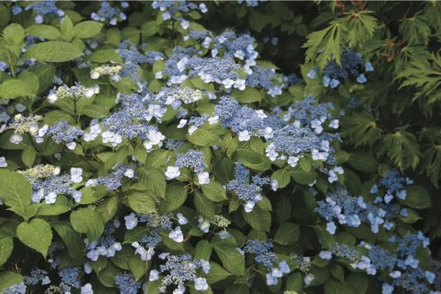 Hydrangeas: How To Change Color from Pink to Blue