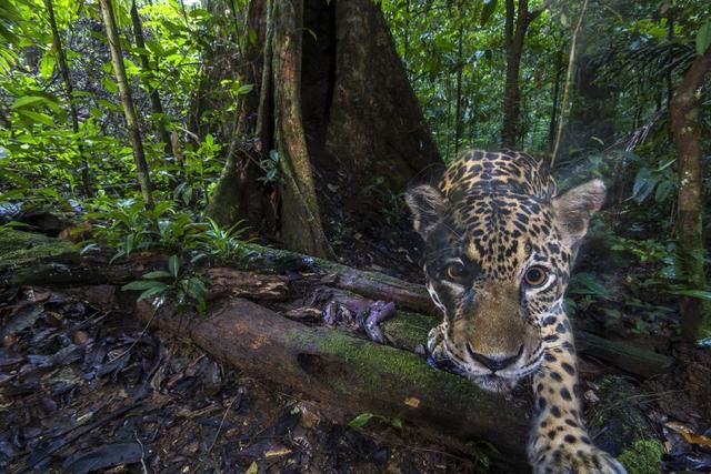 Camera trap captures rare high-definition photos of a jaguar in the wild
