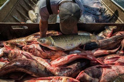 The Great Lakes could be on the 'edge of an invasion' by a little-discussed species of Asian carp