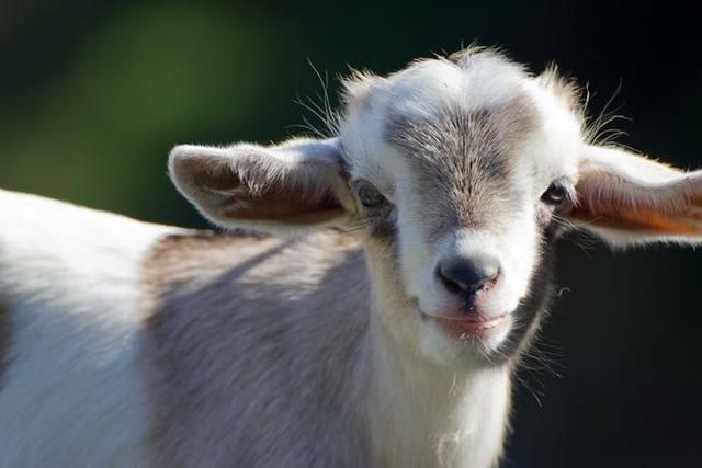 14 things you didn't know about goats