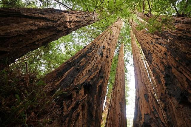 How tall is the tallest tree on Earth?