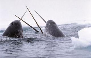Narwhals: Mysterious Unicorns of the Sea