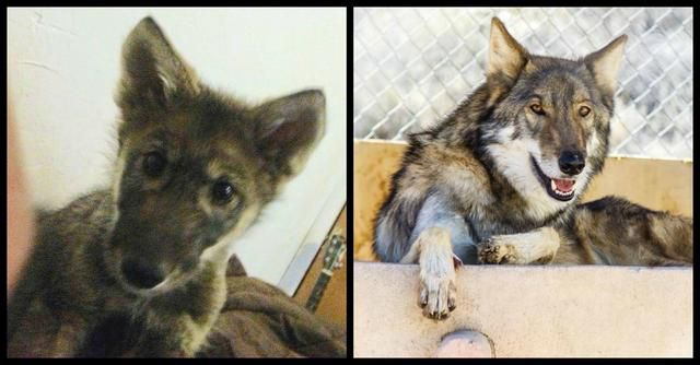 Boy Adopts An Abandoned 'Puppy' - Then Discovers He's Actually A Baby Wolf