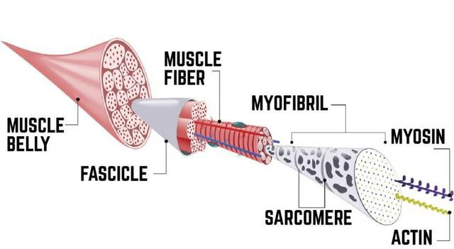 What Is Muscle Hypertrophy And Why It's Important For You To Know