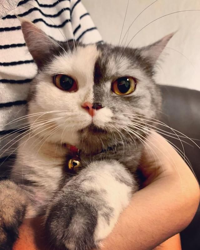 People Can't Get Enough Of This Cuddly Thai Cat Whose Face Is Split In Two Colors Interview With Owner