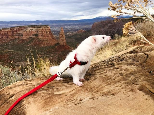 Oliver The Hiking Ferret