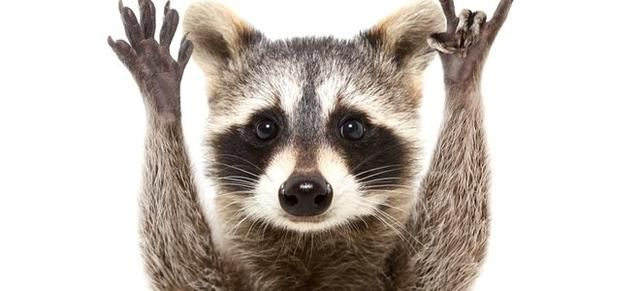 What You Need to Know About Raccoons
