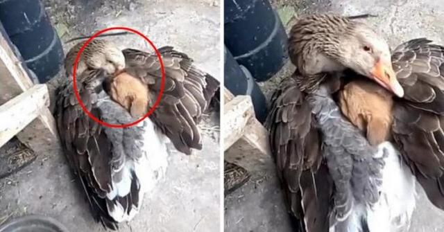 Goose Saves Shivering Puppy By Warming Him Up Under Her Wings