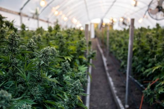 These 5 Pot Stocks Are Up Over 100% in a Week, but Only 1 Is Worth Buying