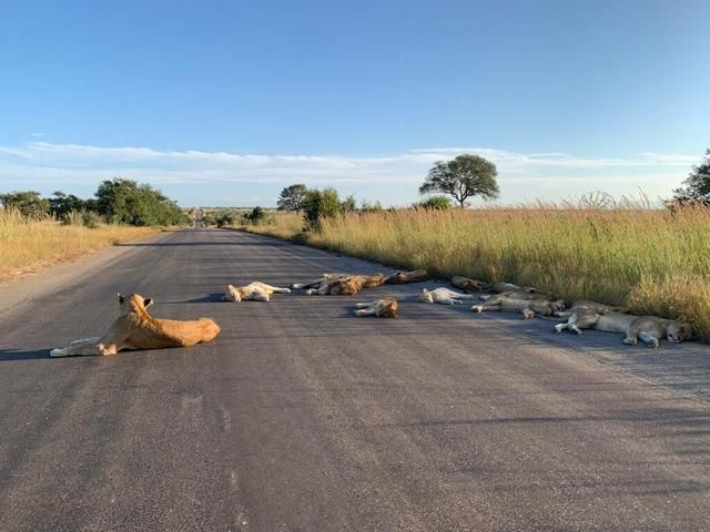 Lions In South Africa Lazily Sunbathe On Road Usually Swarming With Tourists