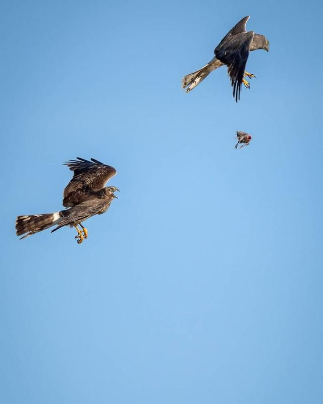 Photographer Captured Two Northern Harriers Exchanging Prey Mid-Air