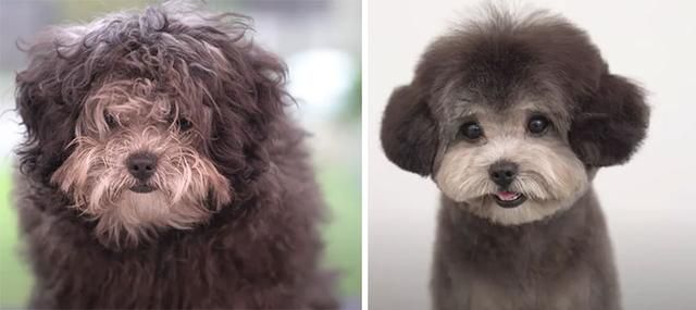 31 Before And After Photos Of Dogs Who Became Unrecognizable After Getting Haircuts From These Groomers