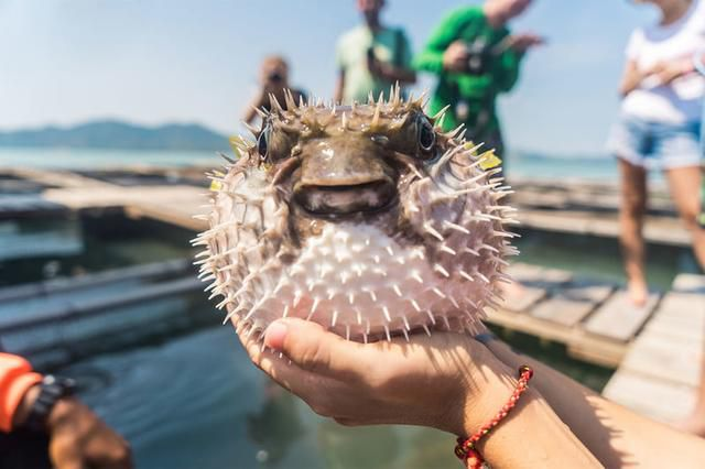 Looking For Dangerous Cuisine? Why Not Try Fugu?