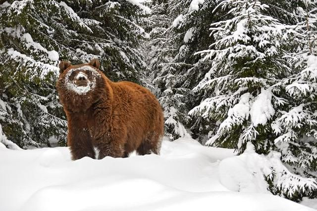Why don't bears' muscles atrophy during hibernation?