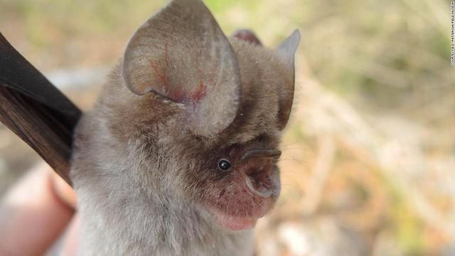 Newly discovered bats are related to those associated with the pandemic