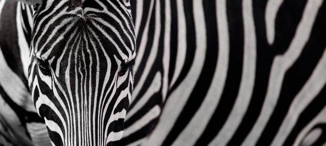Zebras In Color Photographs