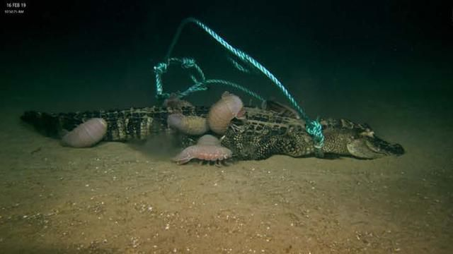 Dead Alligators Dropped to the Bottom of the Sea Make for a Rare and Delicious Meal