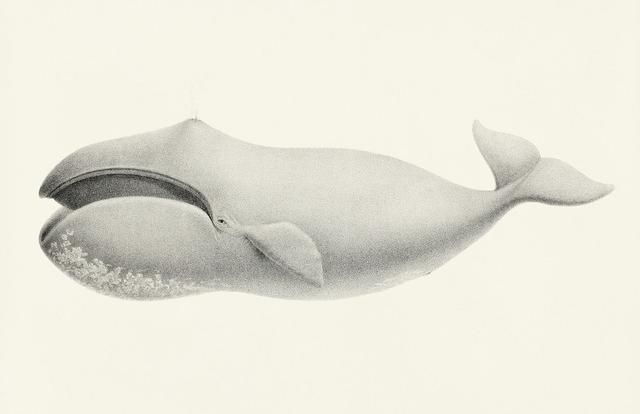 Scientists Discovered 268-Year-Old Whale, Probably 25 Years Older Than USA