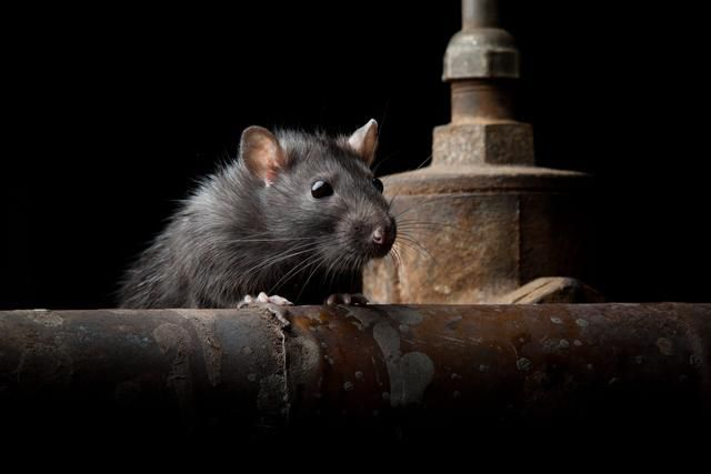 Unusual rodent engine problem has suddenly become 'super common'