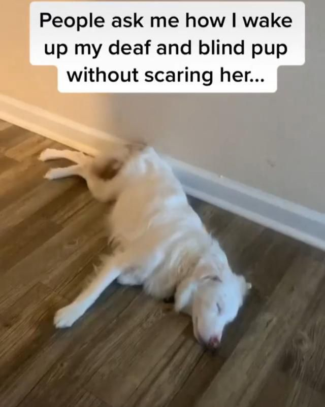 Guy Shows How He Wakes Up His Blind And Deaf Puppy Without Scaring Her And Her Reaction Is Adorable